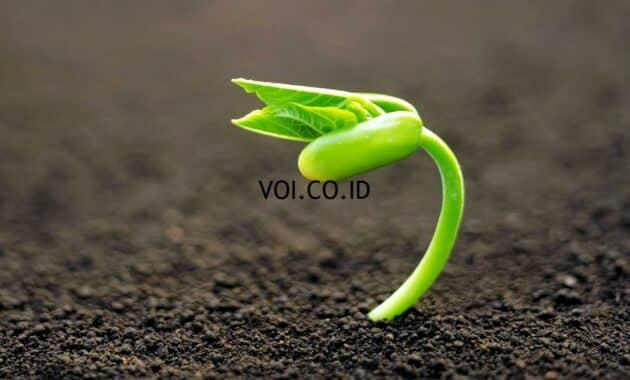 Perecambahan-Tumbuhan-Dikotil